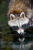 raccoon, Procyon lotor, northern raccoon, black mask across the eyes, bushy tail, nocturnal, omnivorous, opportunistic, solitary, adaptable, First Landing State Park, Virginia Beach, Virginia, USA; Raccoon915042zs.tif