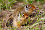 Columbian Ground Squirrel, Spermophilus columbianus ,  young, immature, baby, babies, juvenileGlacier National Park, Montana; USA};  mammals ; rodent; ground squirrel, Sciuridae, Rodentia; = Citellus columbianus; hibernates, hibernator, SquirrelCG3B1342_78.tif