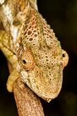 Warty Chameleon, Furcifer verrucosus; Berenty Reserve, Madagascar: Africa, ChameleonW0007_PL.jpg