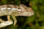 Warty Chameleon, Furcifer verrucosus; Berenty Reserve, Madagascar: Africa, ChameleonW9990_PL.jpg
