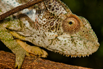 Warty Chameleon, Furcifer verrucosus; Berenty Reserve, Madagascar: Africa, ChameleonW9999_PL.jpg