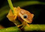 Betsileo Reed Frog, Heterixalus betsileo, note note triangular eyes characteristic of this genus; Andasibe Mantadia National Park, Perinet reserve, Perinet's rainforest, Madagascar endemic,  Madagascar: Africa, FrobBR2153xszhe1.jpg