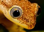 Betsileo Reed Frog, Heterixalus betsileo, note note triangular eyes characteristic of this genus; Andasibe Mantadia National Park, Perinet reserve, Perinet's rainforest, Madagascar endemic,  Madagascar: Africa, FrobBR2153xszhe1hb
