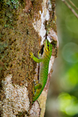 Speckled Day Gecko, Phelsuma guttata, Madagascar endemic; Perinet reserve, Perinet's rainforest, Madagascar: Africa, GeckoSD68434_PL.jpg