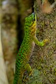 Speckled Day Gecko, Phelsuma guttata, Madagascar endemic; Perinet reserve, Perinet's rainforest, Madagascar: Africa, GeckoSD68478_PL.jpg