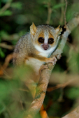 gray mouse lemur, Microcebus murinus; one of the smallest primates; Berenty Reserve, Madagascar: Africa, LemurGM62715_PL.tiff