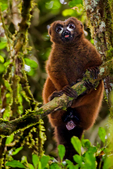 red-bellied lemur, Eulemur rubriventer, is a medium sized strepsirrhine primate. This lemur is endemic to eastern Madagascan rainforests. Andasibe Mantadia National Park, Perinet reserve, Perinet's rainforest, It is the best park for the indri, the largest lemur, and two of the 62 resident groups have been habituated, making them easy to see. There are eight other species of lemur in Andasibe and the most commonly seen include the grey bamboo lemurs, brown lemurs and woolly lemurs. There are some wonderful chameleons in the reserve including the two-foot long Parson's chameleon and the tiny nose-horned chameleon. Frogs are plentiful and birding highlights include Madagascar blue pigeon, coral-billed nuthatches and the Madagascar long-eared owl. There are four species to see at Lemur Island, including the bamboo lemur, the black & white ruffed lemur, brown lemur and diademed sifaka. Madagascar: Africa, LemurRB7390PLnv.tif