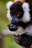 black-and-white ruffed lemur, Varecia variegata, is the more endangered of the two species of ruffed lemurs, both of which are endemic to the island of Madagascar. endangered species, Andasibe Mantadia National Park, Perinet reserve, Perinet's rainforest, It is the best park for the indri, the largest lemur, and two of the 62 resident groups have been habituated, making them easy to see. There are eight other species of lemur in Andasibe and the most commonly seen include the grey bamboo lemurs, brown lemurs and woolly lemurs. There are some wonderful chameleons in the reserve including the two-foot long Parson's chameleon and the tiny nose-horned chameleon. Frogs are plentiful and birding highlights include Madagascar blue pigeon, coral-billed nuthatches and the Madagascar long-eared owl. There are four species to see at Lemur Island, including the bamboo lemur, the black & white ruffed lemur, brown lemur and diademed sifaka. Madagascar: Africa, LemurBWR3331_PL.tiff