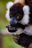 black-and-white ruffed lemur, Varecia variegata, is the more endangered of the two species of ruffed lemurs, both of which are endemic to the island of Madagascar. endangered species, Andasibe Mantadia National Park, Perinet reserve, Perinet's rainforest, It is the best park for the indri, the largest lemur, and two of the 62 resident groups have been habituated, making them easy to see. There are eight other species of lemur in Andasibe and the most commonly seen include the grey bamboo lemurs, brown lemurs and woolly lemurs. There are some wonderful chameleons in the reserve including the two-foot long Parson's chameleon and the tiny nose-horned chameleon. Frogs are plentiful and birding highlights include Madagascar blue pigeon, coral-billed nuthatches and the Madagascar long-eared owl. There are four species to see at Lemur Island, including the bamboo lemur, the black & white ruffed lemur, brown lemur and diademed sifaka. Madagascar: Africa, LemurBWR3338_PL.tiff