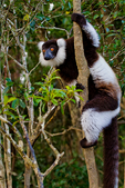 black-and-white ruffed lemur, Varecia variegata, is the more endangered of the two species of ruffed lemurs, both of which are endemic to the island of Madagascar. endangered species, Andasibe Mantadia National Park, Perinet reserve, Perinet's rainforest, It is the best park for the indri, the largest lemur, and two of the 62 resident groups have been habituated, making them easy to see. There are eight other species of lemur in Andasibe and the most commonly seen include the grey bamboo lemurs, brown lemurs and woolly lemurs. There are some wonderful chameleons in the reserve including the two-foot long Parson's chameleon and the tiny nose-horned chameleon. Frogs are plentiful and birding highlights include Madagascar blue pigeon, coral-billed nuthatches and the Madagascar long-eared owl. There are four species to see at Lemur Island, including the bamboo lemur, the black & white ruffed lemur, brown lemur and diademed sifaka. Madagascar: Africa, LemurBWR3805_PL.tiff