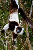 black-and-white ruffed lemur, Varecia variegata, is the more endangered of the two species of ruffed lemurs, both of which are endemic to the island of Madagascar. endangered species, Andasibe Mantadia National Park, Perinet reserve, Perinet's rainforest, It is the best park for the indri, the largest lemur, and two of the 62 resident groups have been habituated, making them easy to see. There are eight other species of lemur in Andasibe and the most commonly seen include the grey bamboo lemurs, brown lemurs and woolly lemurs. There are some wonderful chameleons in the reserve including the two-foot long Parson's chameleon and the tiny nose-horned chameleon. Frogs are plentiful and birding highlights include Madagascar blue pigeon, coral-billed nuthatches and the Madagascar long-eared owl. There are four species to see at Lemur Island, including the bamboo lemur, the black & white ruffed lemur, brown lemur and diademed sifaka. Madagascar: Africa, LemurBWR3952s5.tif