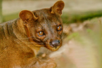 fossa, Malagasy fosa, Cryptoprocta ferox is a cat-like, carnivorous mammal endemic to Madagascar. It is a member of the Eupleridae, a family of carnivorans closely related to the mongoose family (Herpestidae). Its classification has been controversial because its physical traits resemble those of cats, yet other traits suggest a close relationship with viverrids (most civets and their relatives). Its classification, along with that of the other Malagasy carnivores, influenced hypotheses about how many times mammalian carnivores have colonized Madagascar. With genetic studies demonstrating that the fossa and all other Malagasy carnivores are most closely related to each other (forming a clade, recognized as the family Eupleridae), carnivorans are now thought to have colonized the island once around 18 to 20 million years ago. Perinet reserve, zoo, Perinet's rainforest, Madagascar: Africa, Fossa4867cnzs.tif