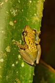 Pandanus Frog, Guibemantis pulcher, Andasibe Mantadia National Park, Perinet reserve, Perinet's rainforest, .endemic Madagascar,  Madagascar: Africa, FrogT2256d39.jpg
