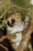 gray mouse lemur, Microcebus murinus; one of the smallest primates; Berenty Reserve, Madagascar: Africa, LemurGM62718_PL.tiff