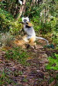 diademed sifaka, Propithecus diadema, or diademed simpona, or dancing safaka, is an endangered species of sifaka, one of the lemurs endemic to certain rainforests in eastern Madagascar. is also known by the Malagasy names simpona, simpony and ankomba joby. Andasibe National Park Perinet, Perinet reserve, Perinet's rainforest, There are four species to see at Lemur Island, including the bamboo lemur, the black & white ruffed lemur, brown lemur and diademed sifaka. Madagascar: Africa, SifakaD2054_PL.tiff