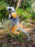 diademed sifaka, Propithecus diadema, or diademed simpona, or dancing safaka, is an endangered species of sifaka, one of the lemurs endemic to certain rainforests in eastern Madagascar. is also known by the Malagasy names simpona, simpony and ankomba joby. Andasibe National Park Perinet, Perinet reserve, Perinet's rainforest, There are four species to see at Lemur Island, including the bamboo lemur, the black & white ruffed lemur, brown lemur and diademed sifaka. Madagascar: Africa, SifakaD2058xs.tif