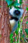 diademed sifaka, Propithecus diadema, or diademed simpona, or dancing safaka, is an endangered species of sifaka, one of the lemurs endemic to certain rainforests in eastern Madagascar. is also known by the Malagasy names simpona, simpony and ankomba joby. Andasibe National Park Perinet, Perinet reserve, Perinet's rainforest, There are four species to see at Lemur Island, including the bamboo lemur, the black & white ruffed lemur, brown lemur and diademed sifaka. Madagascar: Africa, SifakaD4661sc.tif