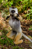 diademed sifaka, Propithecus diadema, or diademed simpona, or dancing safaka, is an endangered species of sifaka, one of the lemurs endemic to certain rainforests in eastern Madagascar. is also known by the Malagasy names simpona, simpony and ankomba joby. Andasibe National Park Perinet, Perinet reserve, Perinet's rainforest, There are four species to see at Lemur Island, including the bamboo lemur, the black & white ruffed lemur, brown lemur and diademed sifaka. Madagascar: Africa, SifakaD4811_PL.tiff