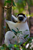 Verreaux's sifaka, Propithecus verreauxi, or the white sifaka, is a medium sized primate in one of the lemur families, Indriidae. It lives in Madagascar and can be found in a variety of habitats from rainforest to western Madagascar dry deciduous forests and dry and spiny forests. The fur is thick and silky and generally white with brown on the sides, top of the head, and on the arms. Like all sifakas, it has a long tail that it uses as a balance when leaping from tree to tree. However, its body is so highly adapted to an arboreal existence that on the ground its only means of locomotion is hopping. The species lives in small troops which forage for food.Berenty Reserve, Madagascar: Africa, SifakaV0224_PL.tiff