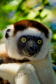 Verreaux's sifaka, Propithecus verreauxi, or the white sifaka, is a medium sized primate in one of the lemur families, Indriidae. It lives in Madagascar and can be found in a variety of habitats from rainforest to western Madagascar dry deciduous forests and dry and spiny forests. The fur is thick and silky and generally white with brown on the sides, top of the head, and on the arms. Like all sifakas, it has a long tail that it uses as a balance when leaping from tree to tree. However, its body is so highly adapted to an arboreal existence that on the ground its only means of locomotion is hopping. The species lives in small troops which forage for food.Berenty Reserve, Madagascar: Africa, SifakaV0252_PL.tiff