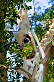 Verreaux's sifaka, Propithecus verreauxi, or the white sifaka, is a medium sized primate in one of the lemur families, Indriidae. It lives in Madagascar and can be found in a variety of habitats from rainforest to western Madagascar dry deciduous forests and dry and spiny forests. The fur is thick and silky and generally white with brown on the sides, top of the head, and on the arms. Like all sifakas, it has a long tail that it uses as a balance when leaping from tree to tree. However, its body is so highly adapted to an arboreal existence that on the ground its only means of locomotion is hopping. The species lives in small troops which forage for food.Berenty Reserve, Madagascar: Africa, SifakaV0308_PL.tiff
