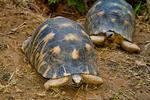 Radiated Tortoise, Astrochelys radiata, Madagascar endemic, rare, endangered, endangered species; Berenty Reserve, Madagascar: Africa, TortoiseR64903_PL.tiff