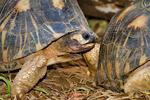 Radiated Tortoise, Astrochelys radiata, Madagascar endemic, rare, endangered, endangered species; Berenty Reserve, Madagascar: Africa, TortoiseR88223_PL.tiff