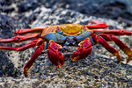 sally lightfoot crabs, Grapsus grapsus, , Lava flow, Santiago Island, James Island, Galapagos Islands, Ecuador, South America; invertebrate, crustacean, crab,  bird, seabird,  animals, wildlife,  CrabSL7990zs_P.tiff