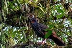 Cauca Guan, Penelope perspicax, endemic Colombia, thought to be extinct until a small population was found at Otun NP; rare, endangered, very local in Cauca Valle, Otun Quimbaya National Park, Colombia, South America; GuanC33705nsc.tif