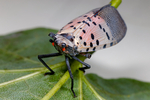 Spotted Lanternfly, Lycorma delicatula, a recent alien pest invader, is indigenous to parts of northern China, Taiwan, and Vietnam, and has spread invasively to Japan, South Korea, and the United States. Although it has two pairs of wings, it jumps more than it flies. Its host plants include grapes, stone fruits, and Malus species, although its preferred host is Ailanthus altissima (Chinese sumac or tree of heaven).[1] In its native habitat it is kept in check by natural predators or pathogens. It was accidentally introduced in South Korea in 2006 and has since been considered a pest. In September 2014, it was first recorded in the United States,[2] and as of 2020 it is an invasive species in the Delaware Valley, eastern Pennsylvania, southwestern New Jersey, northern Delaware, eastern Maryland, and northern Virginia.[3Wiki]; Winchester, Virginia, USA, SNP34663czNIKdefaults.jpg
