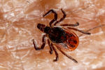 """Deer Tick, Black-legged Tick, Ixodes scapularis, Tick, Ticks have four life stages: egg, six-legged larva, eight-legged nymph and adult. After the egg hatches, the tiny larva (sometimes called a """"seed tick"""") feeds on an appropriate host. The larva then develops (molts) into the larger nymph. The nymph feeds on a host and then molts into an even larger adult. Both male and female adults find and feed on a host, then the females lay eggs sometime after feeding.  Shenandoah National Park, Virginia, USA; TickD31456zhsg.tif"""