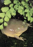BUDGETT'S FROG, ARGENTINA & PARAGUAY