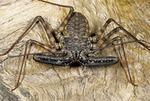 TANZANIAN GIANT SCORPION-SPIDER