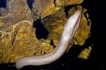 YUCATECAN BLIND CAVE EEL, CENOTE, HOCTUN, MEXICO