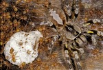 INDIAN ORNAMENTAL TARANTULA WITH EGG SAC &amp; SPIDERLINGS, INDIA