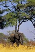 AFRICAN ELEPHANT RETURNING TO THE BUSH FROM THE OKAVANGO FLOODPLAIN, NAMIBIA