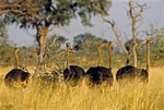 OSTRICHES IN TALL GRASS, MAHANGO GAME PRESERVE, NAMIBIA