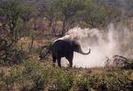 AFRICAN ELEPHANT DUST BATHING, HALALI WATERHOLE, ETOSHA NATIONAL PARK, NAMIBIA