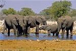 AFRICAN ELEPHANTS, INCLUDING CALF, AT GOAS WATERHOLE, ETOSHA NATIONAL PARK, NAMIBIA