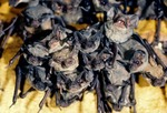 MEXICAN FREETAIL BATS ON CAVE WALL, BRACKEN CAVE, TEXAS