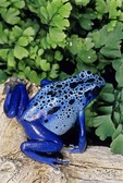 THE BEAUTIFUL BLUE POISON FROG, DENDROBATES AZUREUS, OF SOUTHERN SURINAM