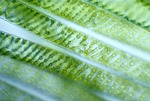 SPIROGYRA WITH A SINGLE CHLOROPLAST PER CELL