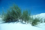 TORREY'S EPHEDRA, A JOINT FIR IN WHITE SANDS, NEW MEXICO