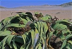 MALE WELWITCSHIA WITH RIPE POLLEN CONES IN THE NAMIB DESERT