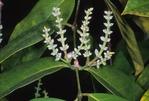 SPIKES OF NAKED SEEDS OF THE MENINJAU, GNETUM GNEMON, SINGAPORE