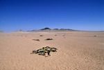 TYPICAL SCATTERING OF WELWITSCHIA PLANTS IN THE NAMIB DESERT