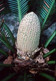 MALE CONE OF A CYCAD, DIOON EDULE. MEXICO Dione edule. Gymnospermae,Cycadale. Mexico. Male (staminate, or pollen, cone). GYM-CYC-2-19.