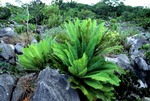 CYCADS, DIOON EDULE, GROWING IN A KARST FIELD. TAMAULIPAS, MEXICO