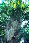 OAK LEAF FERN, DRYNARIA QUERCIFOLIA, RAIN FOREST, MALAYSIA