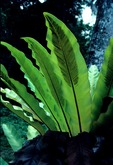 BIRD'S NEST FERN, ASPLENIUM NIDUS, SHOWING SPORANGIA. RAIN FOREST, MALAYSIA